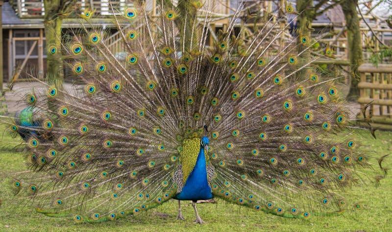 male påfågel arkivbilder