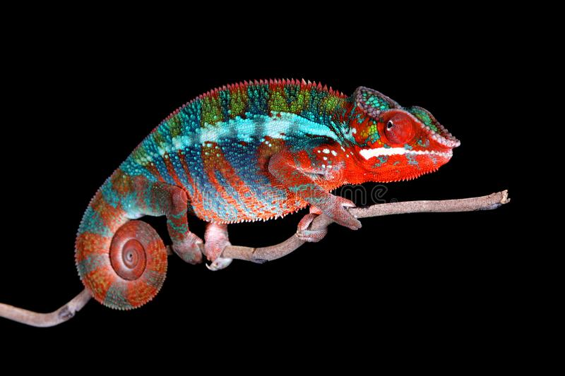Panther Chameleon on stick with Black Background stock image