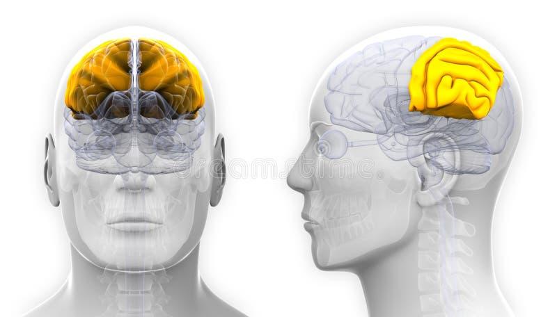 Male Parietal Lobe Brain Anatomy Isolated On White Stock