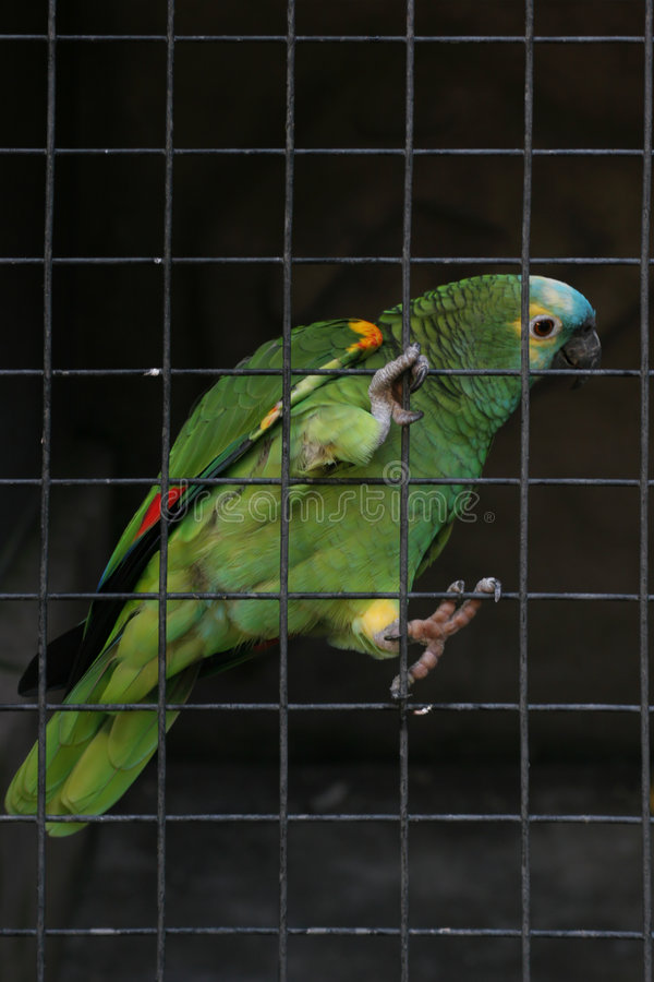 Male parrot royalty free stock image