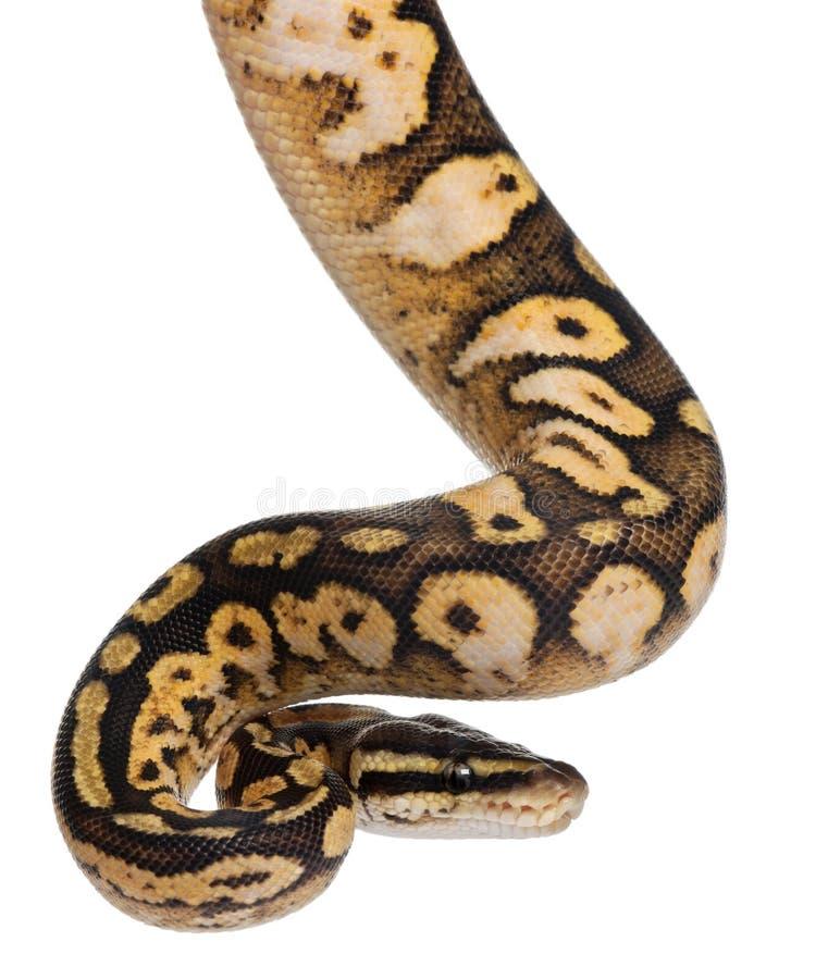Male Pastel calico Python, Royal python stock photos