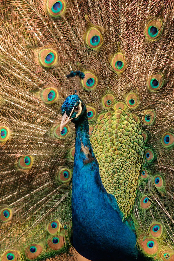 Male peacock royalty free stock images
