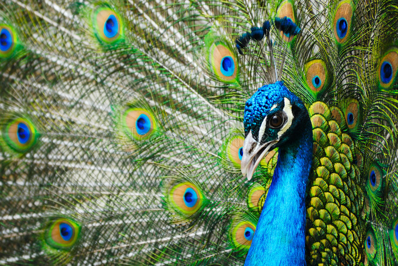 Download Male peacock stock image. Image of bright, plummage, yellow - 4965397