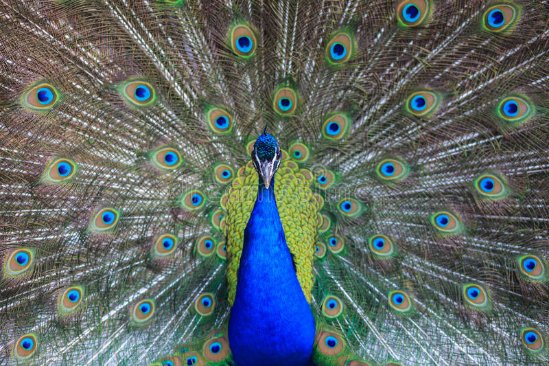 Male peacock with beautiful feathers. Male peacock with it's beautiful feathers stock photography
