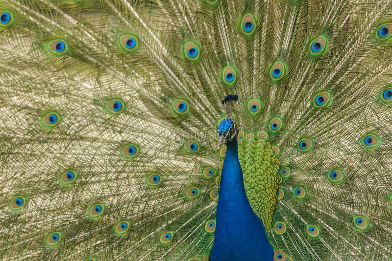 Male peacock close up. Male peacock displaying his tail feathers stock image