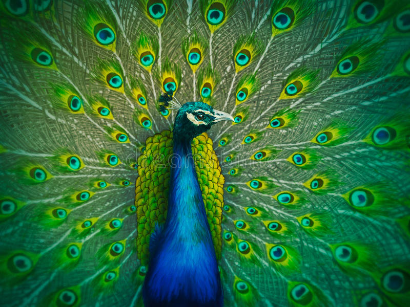 Download Male Peacock - Digital Painting Stock Illustration - Illustration: 25681810