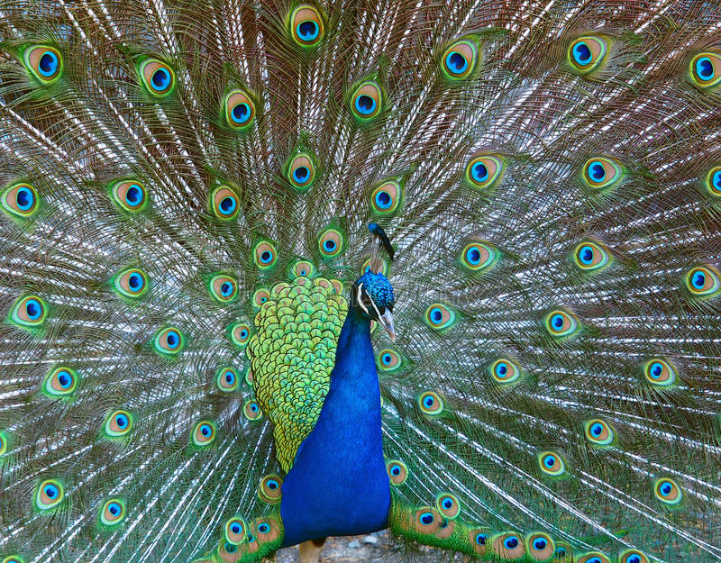 Download Male Peacock Displaying Fully Opened Tail Stock Image - Image: 19684711