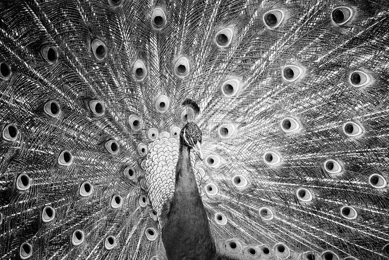 Male Peacock. Displaying his beautiful tail, image in monochrome stock photo