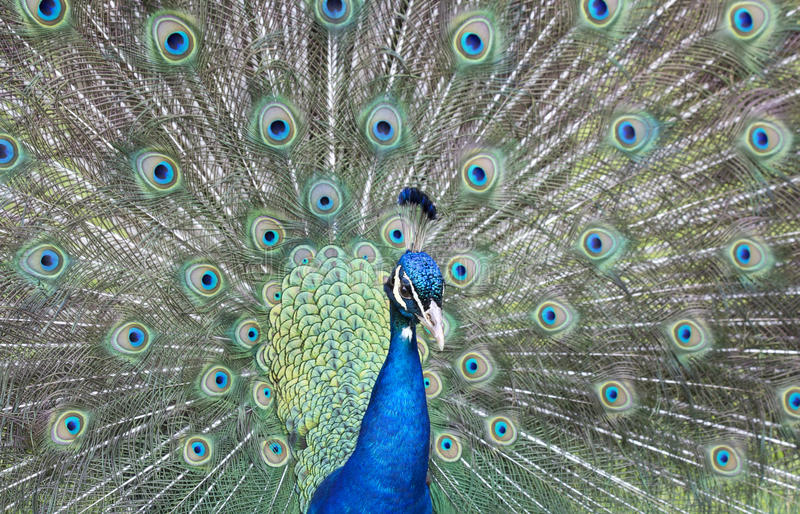 Male peacock fanning its feathers royalty free stock image