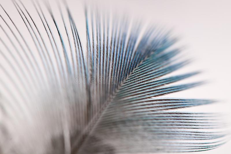 Male Peacock feather macro details . stock image