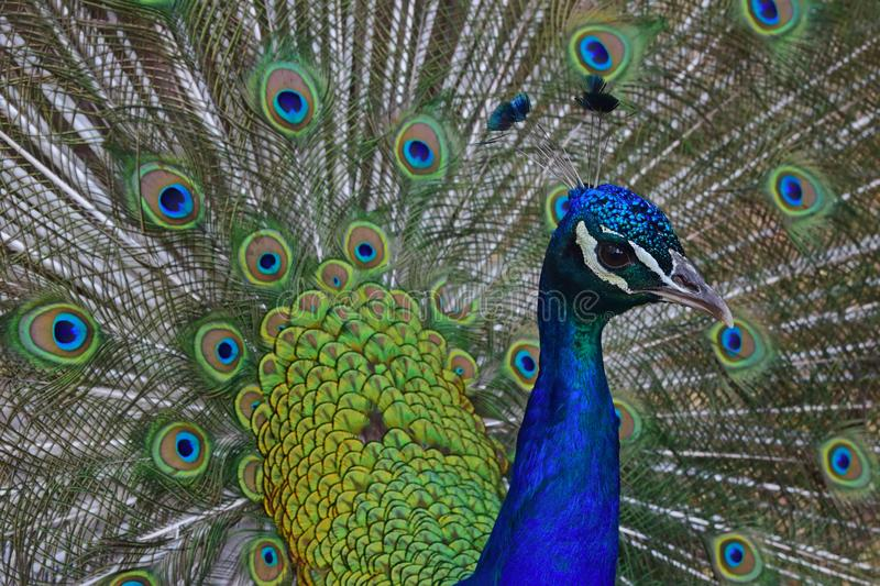 Male peacock with his opened feathers. Males peacock with his opened feathers called coverts as part of a courtship ritual to attract a mate