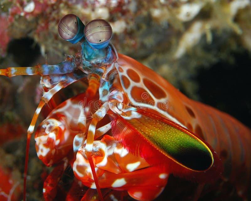 Download Male Peacock Mantis Shrimp stock photo. Image of thumb - 10642358