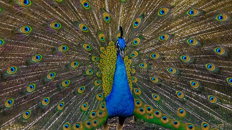 Male peacock opens in colorful plumage and feathers. A male peacock displays his full spread o royal blue, greem and orange tail feathers royalty free stock images