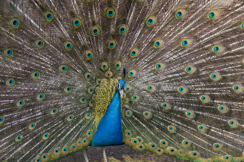 The male peacock royalty free stock photos
