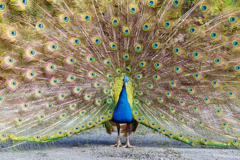Peacock displaying plumage stock photos