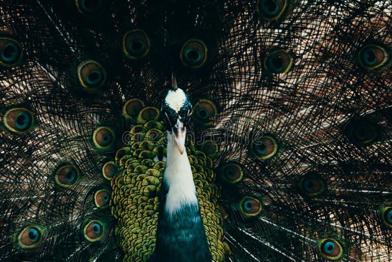 Male Peacock Photography Free Public Domain Cc0 Image