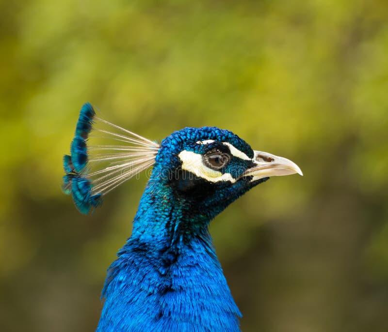 Male Peacock Profile Stock Image