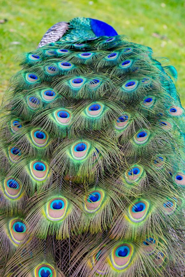 Male peacock showing off his plumage at Beacon Hill park in Victoria, Canada. Detail of male peacock showing off his colorful plumage at Beacon Hill park in stock photos