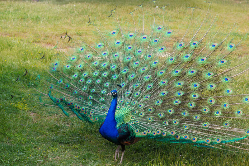Male peacock stock photography