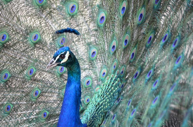 Male Peafowl. A male peafowl or peacock, Pavo cristatus, with iridescent neck and head feathers and its elaborate tail spread behind it stock photography