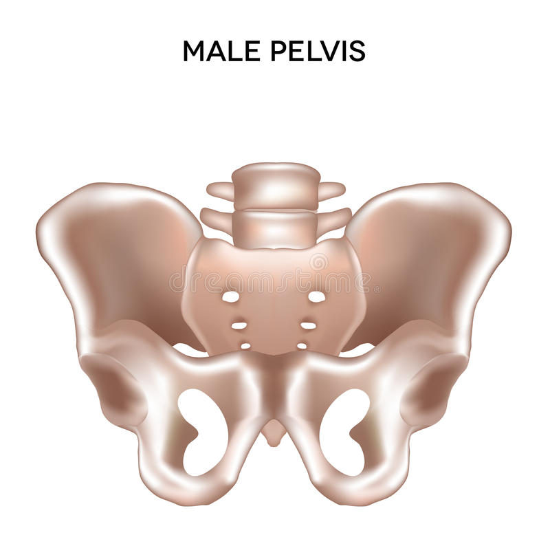 Download Male pelvis stock vector. Illustration of healthy, male - 31164653