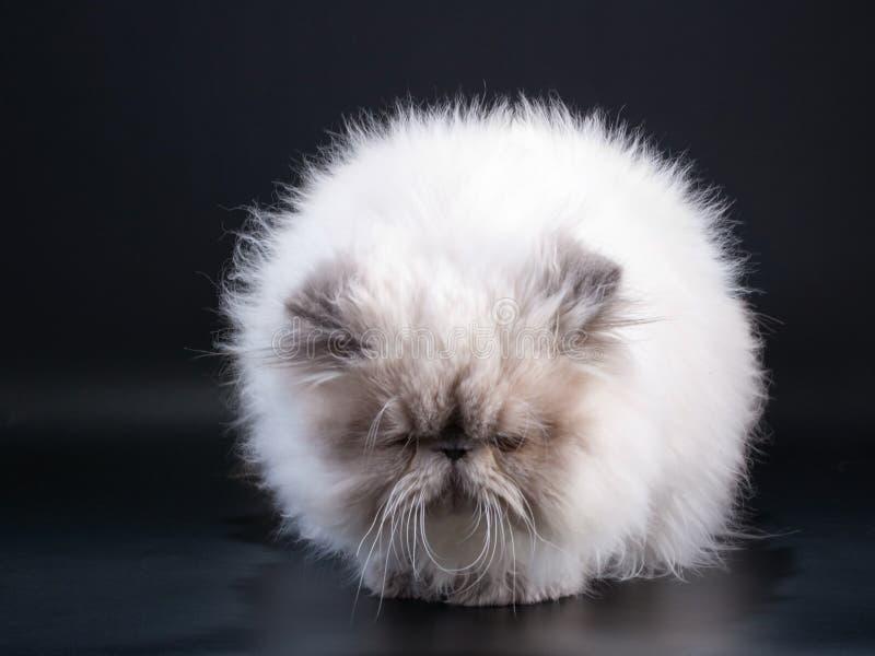Download Male Persian Cat Breed Like Taraxacum Stock Photo - Image of breed, black: 9324220