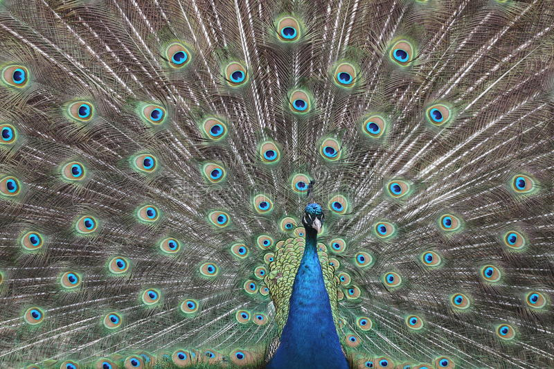 Male Phasianidae Pavo Cristatus with tail spread. A blue Indian peacock (Pavo cristatus) spreads it tail hoping to attract a mate. The Indian peacock is native stock photos