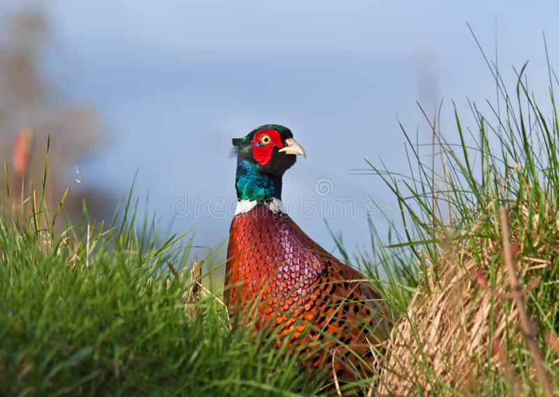 Download Male Pheasant stock image. Image of details, chicken - 24296007