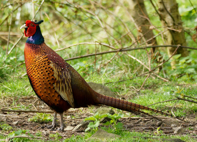 Male Pheasant / Phasianus colchicus. Colorful Male Pheasant / Phasianus colchicus royalty free stock image