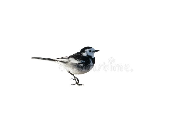 A male Pied Wagtail, Motacilla alba yarrellii, cutout. UK. A male Pied Wagtail, Motacilla alba yarellii, standing, cutout and isolated against a white royalty free stock photography