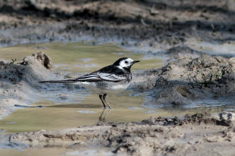 A male Pied Wagtail, Motacilla alba yarrellii, UK. A male Pied Wagtail, Motacilla alba yarrellii, perched on the ground in a muddy puddle. Portland, Dorset royalty free stock image