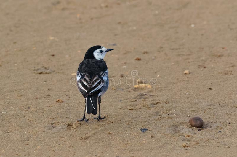 A male Pied Wagtail, Motacilla alba yarrellii, UK. A male Pied Wagtail, Motacilla alba yarrellii, , perched, back-on, on a sandy beach. Dorset, England, UK royalty free stock images