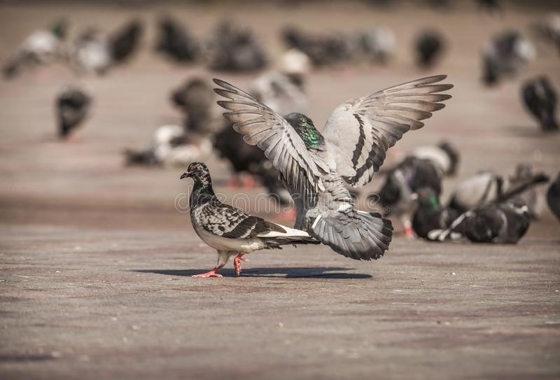 Male pigeon chases after a female, in a flock of pigeons in the city royalty free stock photos