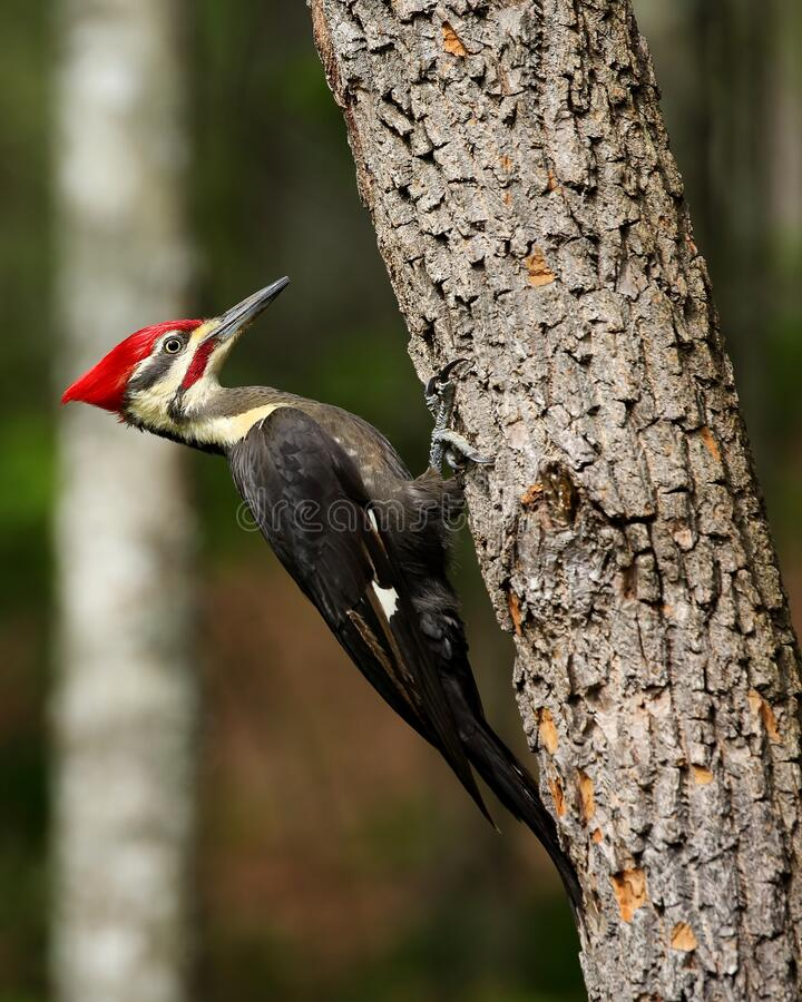Free Male Pileated Woodpecker Royalty Free Stock Photos - 182963518