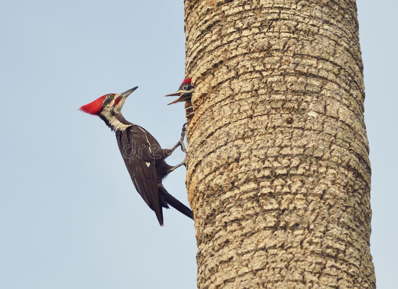 Male Pileated Woodpecker. Feeding his Babies royalty free stock image