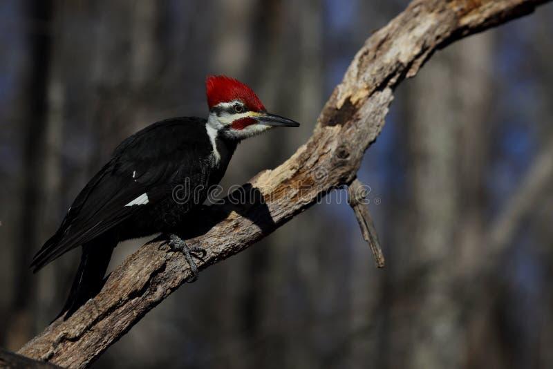 Male Pileated Woodpecker. Horizontal portrait of a male pileated woodpecker stock photo