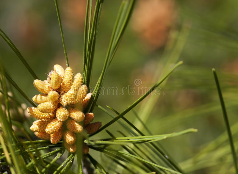 Pine Pollen Cone. A male pine pollen cone. Male pine cones are smaller than female cones and only live a few weeks. You can identify them as brown, tube-like royalty free stock images