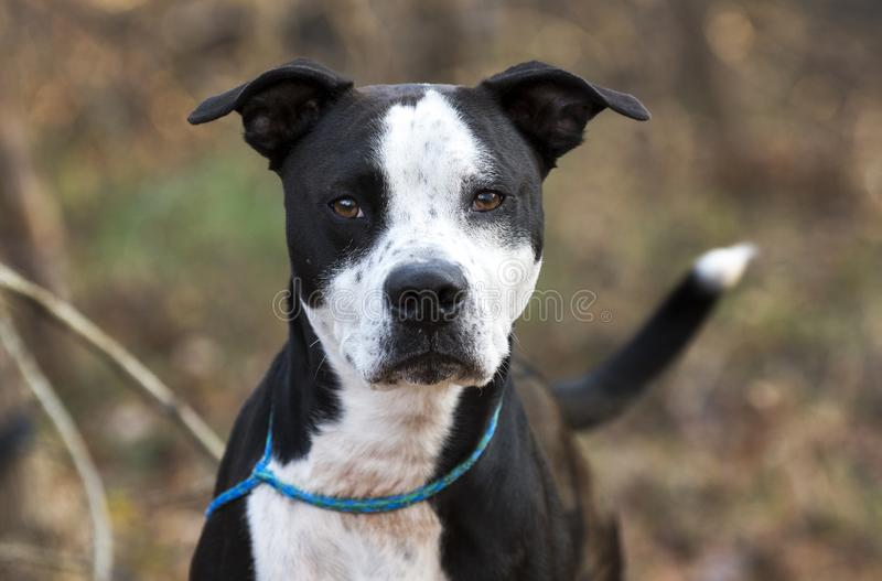 Neutered male black and white Pit Bull Terrier mixed breed dog royalty free stock photos