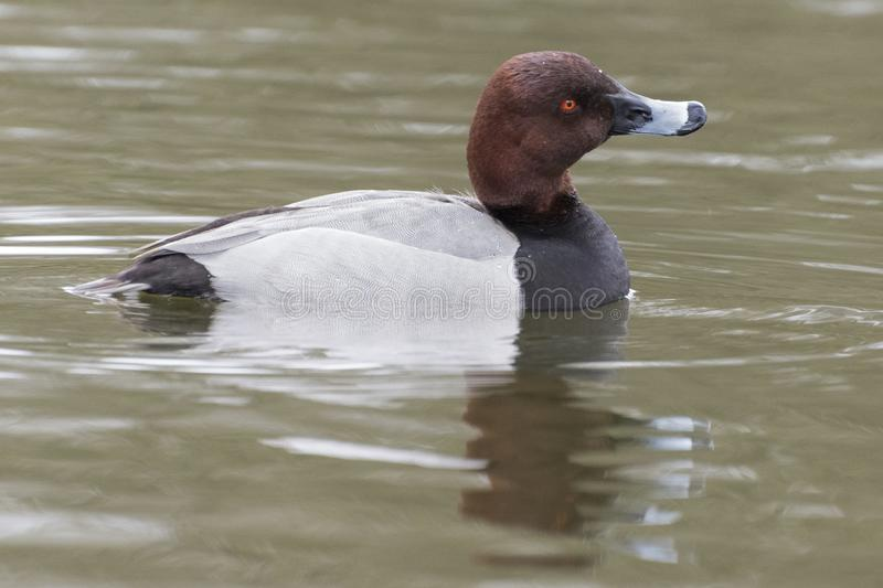 Download A Male Pochard Duck On The Cemetery Lake Southampton Common Stock Image - Image of water, female: 113331717
