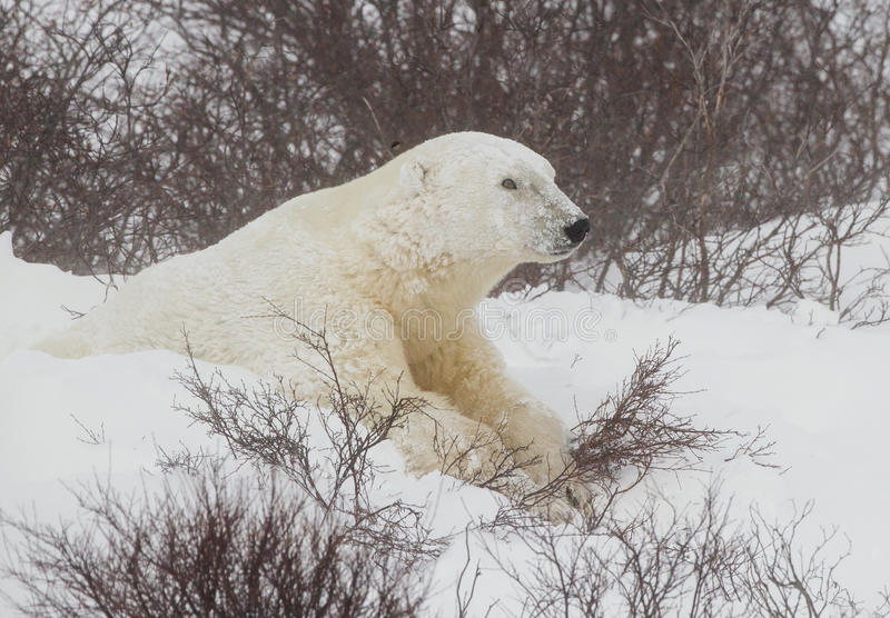 Male polar bear begins to come out of den during blizzard stock photography