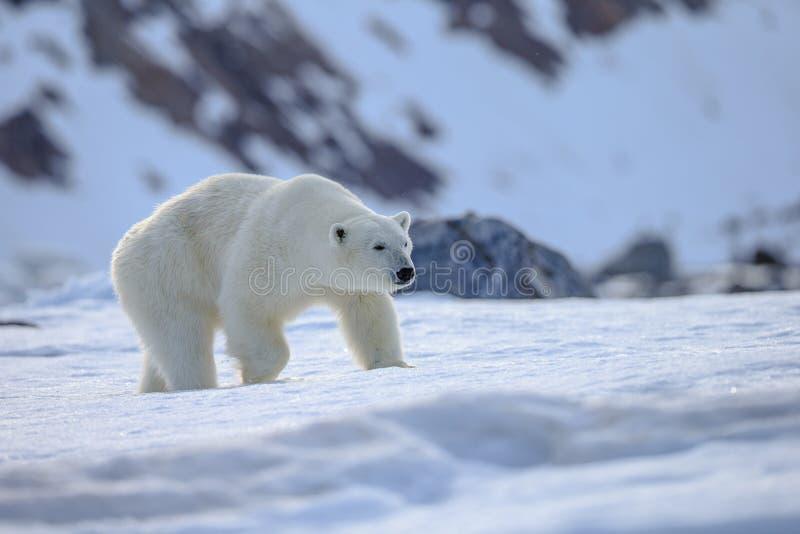 Polar Bear Ursus maritimus Spitsbergen North Ocean royalty free stock photography
