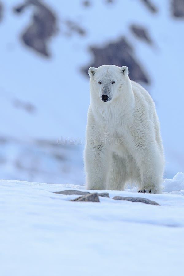 Polar Bear Ursus maritimus Spitsbergen North Ocean stock photos