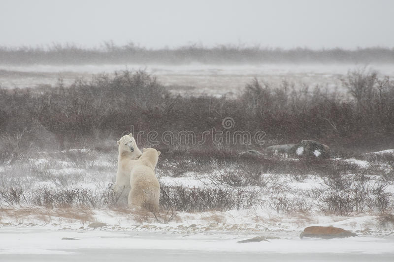 Male Polar Bears Standing while Mock Sparring. At the edge of a snow covered bank on a frozen lake, two male polar bears begin to engage in mock sparring during stock photo