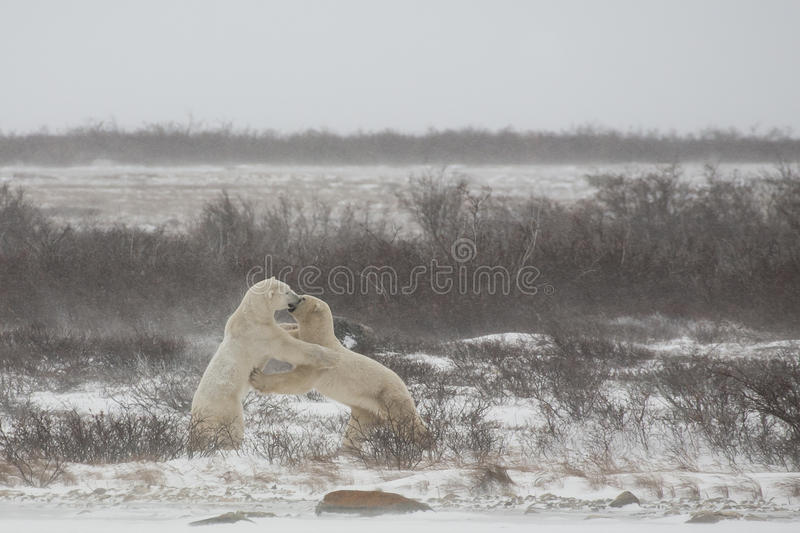 Polar Bears Standing/Shoving while Mock Sparing/fi. At the edge of a snow covered bank on a frozen lake, two male polar bears stand and shove each other while stock images