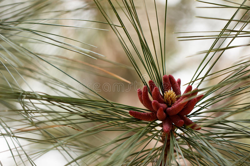 Male pollen pine cones royalty free stock image