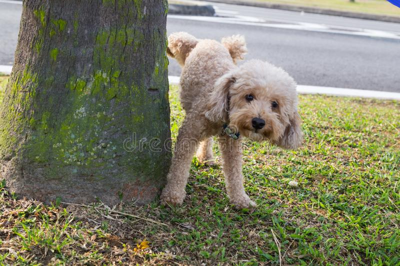 Male poodle urinating pee on tree trunk to mark territory royalty free stock photography