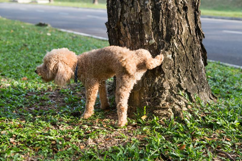 Male poodle urinating pee on tree trunk to mark territory. In public park royalty free stock image