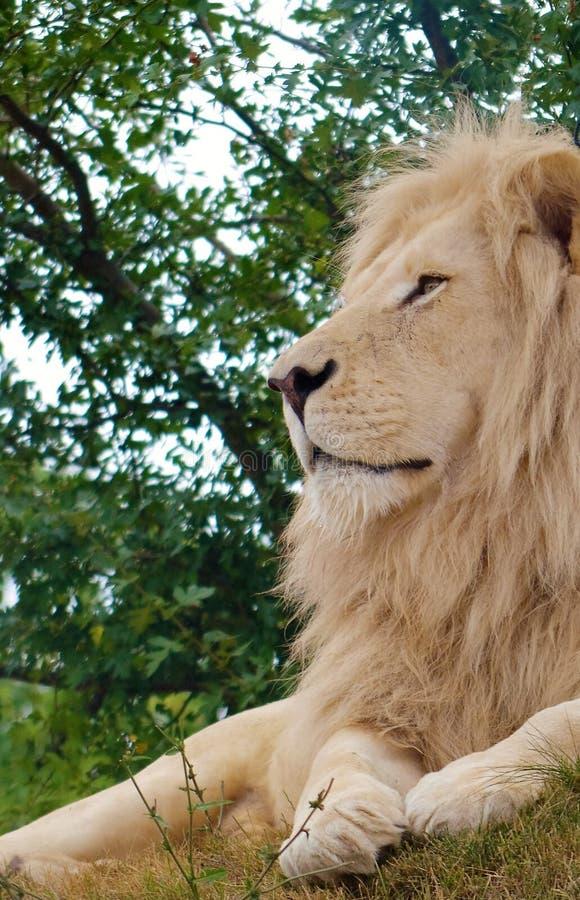 male profilwhite för lion royaltyfri bild