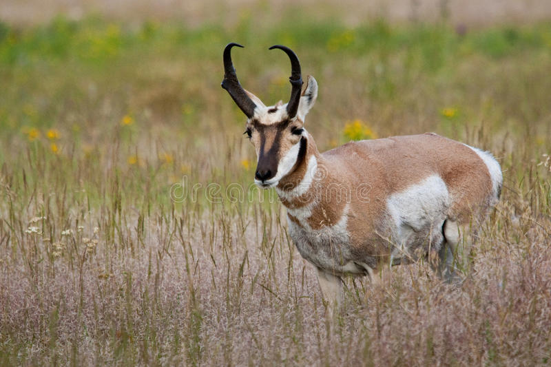 Male Pronghorn stock images