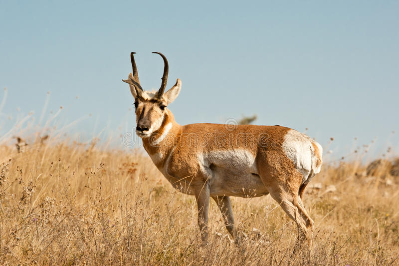 Download Male Pronghorn stock photo. Image of attentive, stand - 27287442